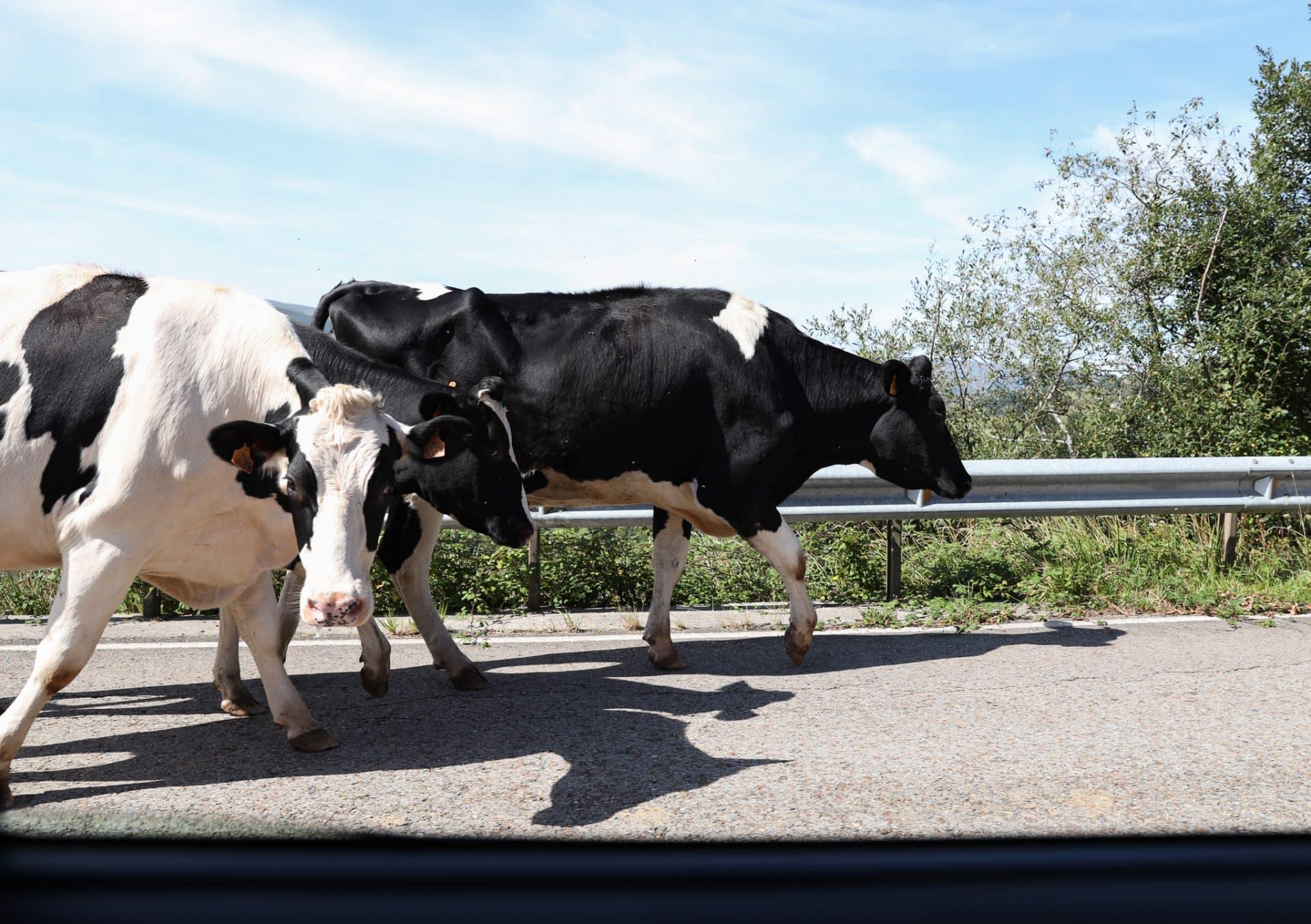 Vacas Valles Pasiegos